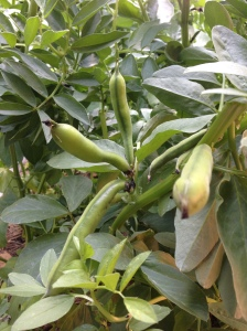 broad beans growing
